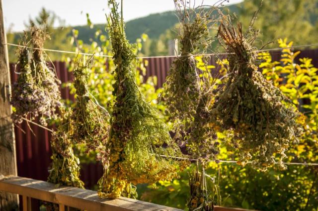 правила сбора и заготовки лекарственных растений
