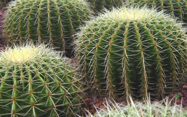 кактусом